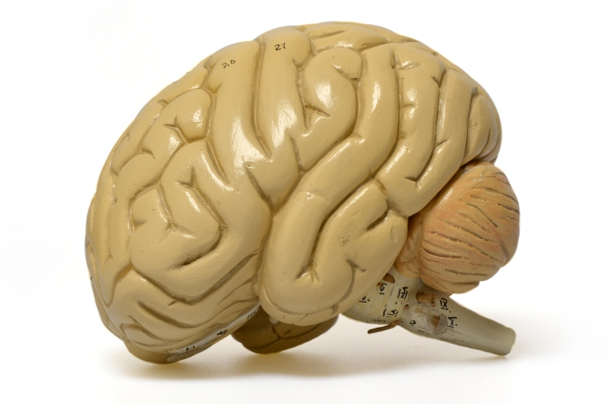 Teaching model of a brain taken along with a selection of objects from the collection to Manchester Town Hall for the Manchester Day Brain Box event, June 2016